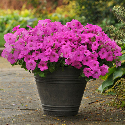 Petunia Easy Wave Neon Rose F1