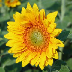 Sunflower Pro Cut Gold F1