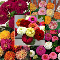 Zinnia Cut Flower Seed Sampler Collection