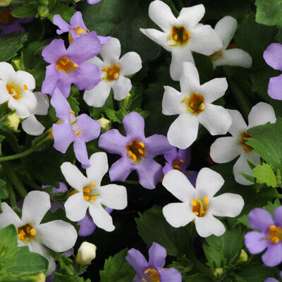 Bacopa Fuseables Utopia