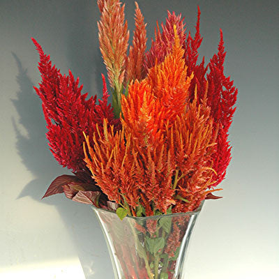 Celosia Sunday Mix