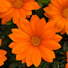 Gazania New Day Clear Orange F1