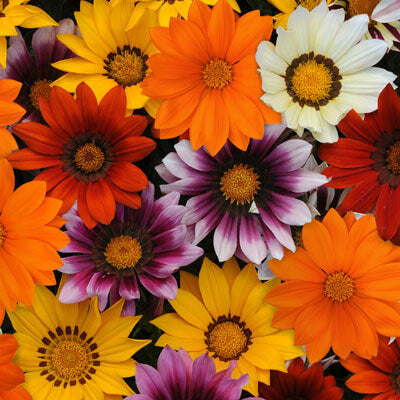 Gazania New Day Mix F1 Seeds