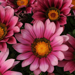 Gazania New Day Pink Shades F1