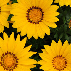 Gazania New Day Yellow F1