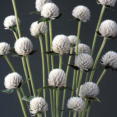Gomphrena Audray White Seeds