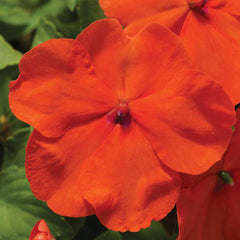 Impatiens Accent Premium Deep Orange F1