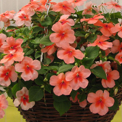 Impatiens Super Elfin XP Salmon Splash F1