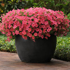 Petunia Shock Wave Coral Crush F1