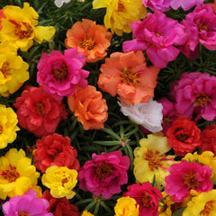 Portulaca Happy Hour Mix