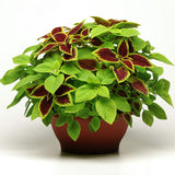 Coleus Fuseable Under The Sun