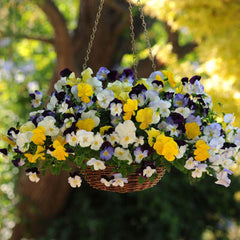 Hanging Basket Pansies