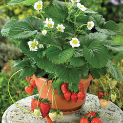 Strawberry, Ornamental