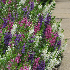 Angelonia Serenita Mix F1