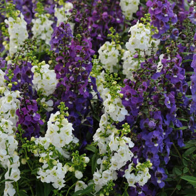 Angelonia Serena Waterfall Mix F1