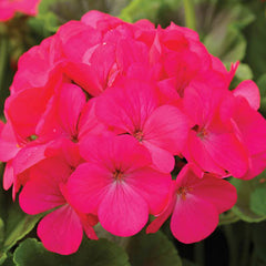 Geranium Maverick Rose F1