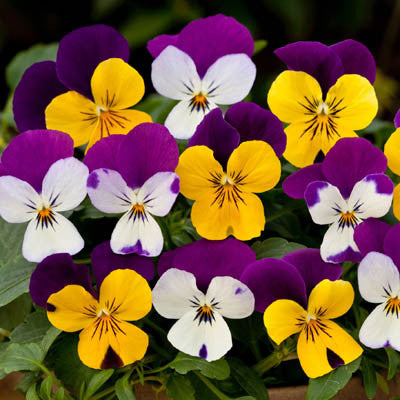 Pansy Freefall Little Faces Mix F1