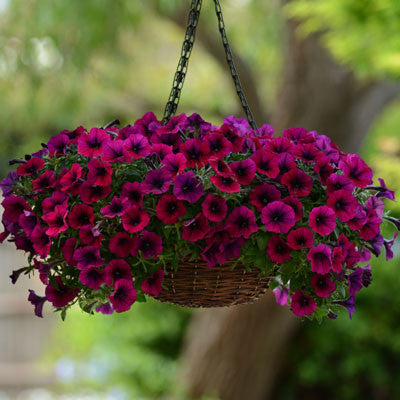 Petunia Shock Wave Deep Purple F1