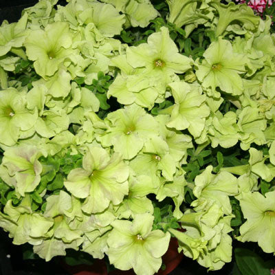 Petunia Sophistica Lime Green F1