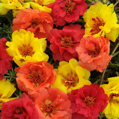 Portulaca Happy Trails Tropical Mix