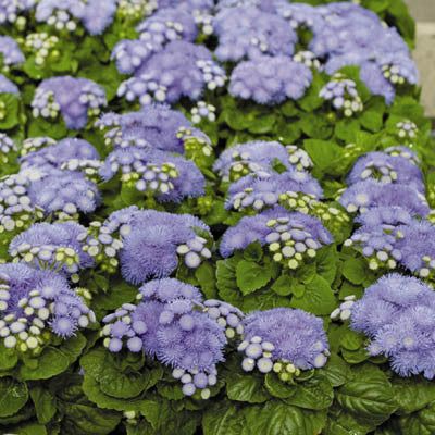 Ageratum Blue Hawaii 5.0 F1