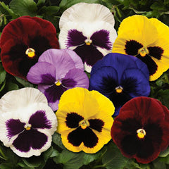 Pansy Spring Matrix Blotch Mix F1
