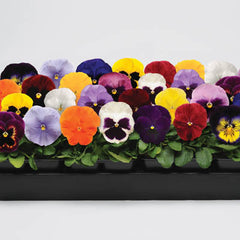 Pansy Spring Matrix Mix F1