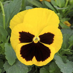 Pansy Spring Matrix Yellow Blotch F1