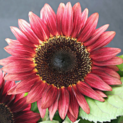 Sunflower Pro Cut Red F1