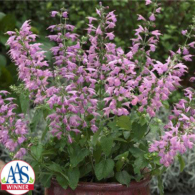 Salvia Summer Jewel Lavender Seeds