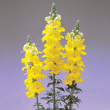 Snapdragon Chantilly Yellow F1