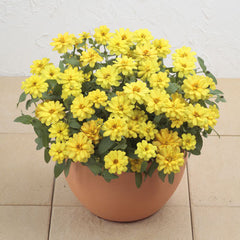 Zinnia Profusion Double Yellow