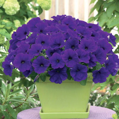Petunia Trilogy Blue F1