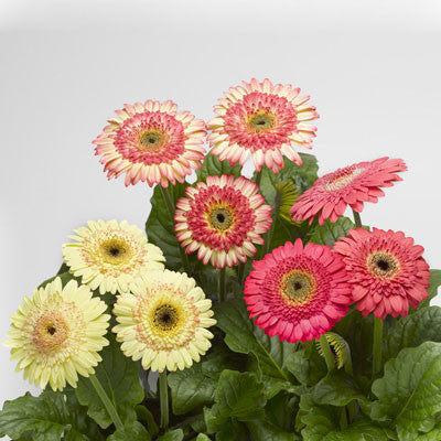 Gerbera Cartwheel Strawberry Twist F1