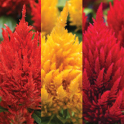 Celosia First Flame Mix