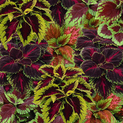 Coleus Kong Empire Mix