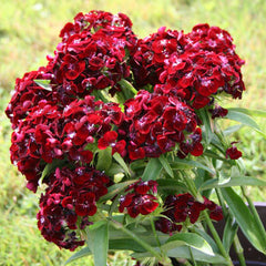 Dianthus Sweet Black Cherry F1