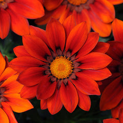 Gazania New Day Red Shades F1