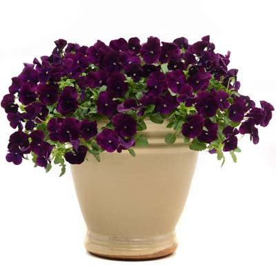 Pansy Cool Wave® Purple Seeds