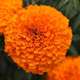 Marigold Garland Orange