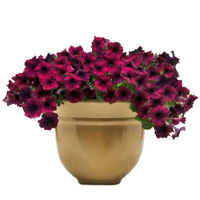 Petunia Easy Wave Velour Burgundy F1