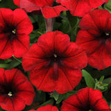 Petunia Easy Wave Velour Red F1