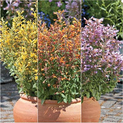 Agastache Arizona Mix