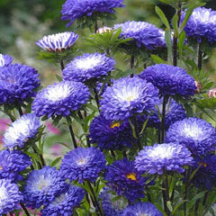 Aster Matsumoto Blue Tipped White