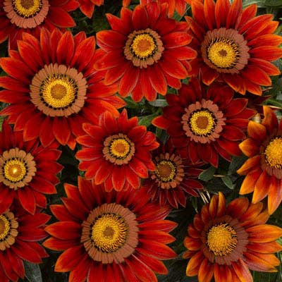 Gazania Big Kiss Red F1