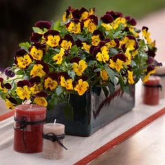 Pansy Cool Wave® Sunshine 'n Wine