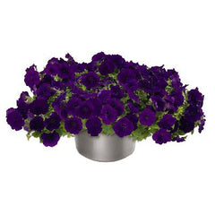 Petunia Success Blue F1