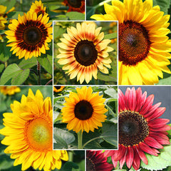 Sunflower Pro Cut Collection