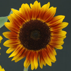 Sunflower Helios Flame F1