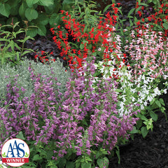 Salvia Summer Jewel Mix